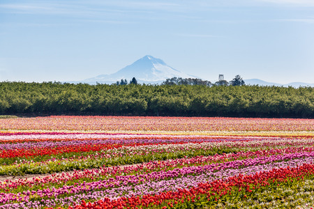 Colorful tulip field and Mt. Hood Stock Photo