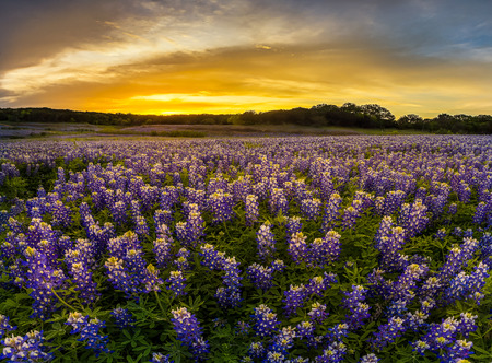 bluebonnet: Texas bluebonnet field in sunset at Muleshoe Bend Recreation Area Stock Photo