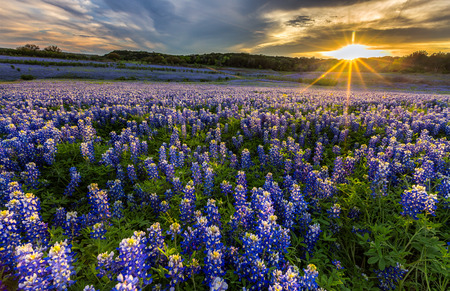 recreation: Texas bluebonnet wildflower sunset at, Musleshoe Bend Recreation Area Stock Photo