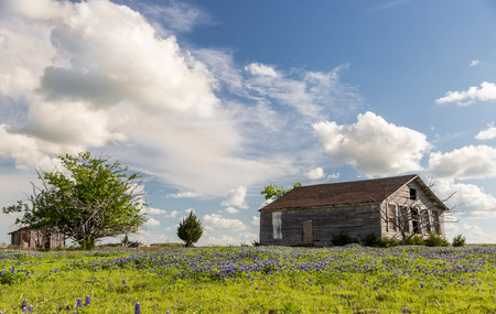 bluebonnet: texas bluebonnet field and old barn in Ennis