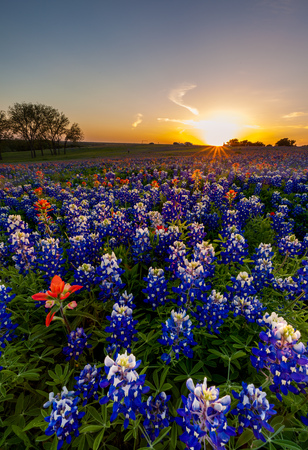 bluebonnet: Texas bluebonnet and indian paintbrush filed in sunset.