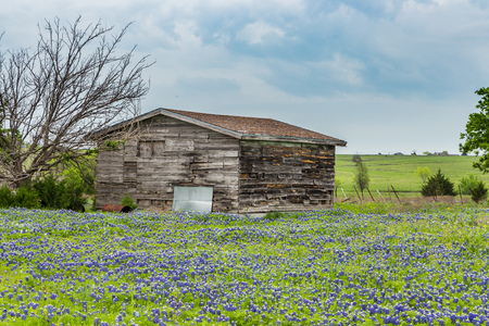 bluebonnet: texas bluebonnet field and old barn in Ennis.