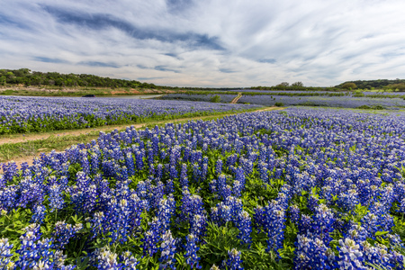 bluebonnet: Beautiful Texas bluebonnet field at Muleshoe Bend Recreation Area near, Austin, TX