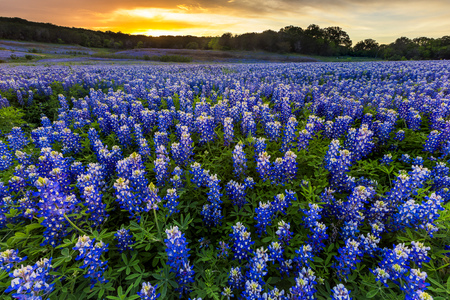 Beautiful Bluebonnets field at sunset near Austin, Texas in spring