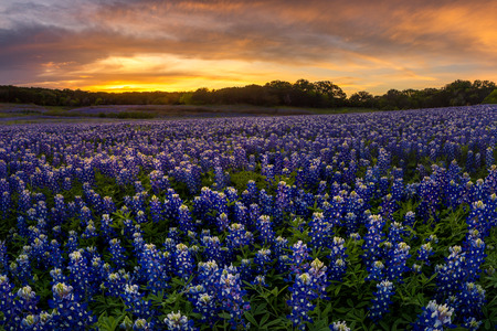 recreation area: Beautiful Texas bluebonnet field in at Muleshoe Bend Recreation Area near AUstin during sunset Stock Photo