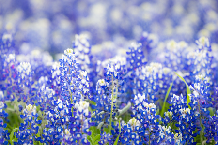 bluebonnet: Texas wildflower - Closeup bluebonnets in spring