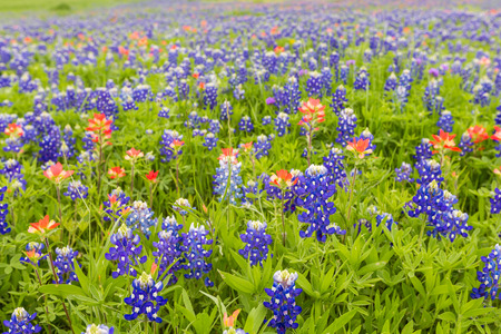 bluebonnet: Bluebonnet and indian paintbrush closeup in Ennis, Texas