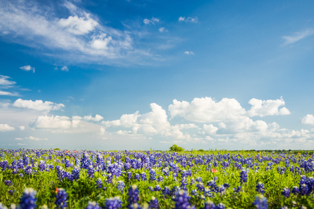 bluebonnet: Texas Bluebonnet filed and blue sky in Ennis