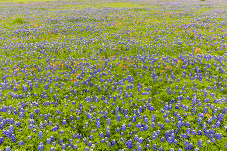 bluebonnet: Bluebonnet and indian paintbrush field in Ennis, Texas