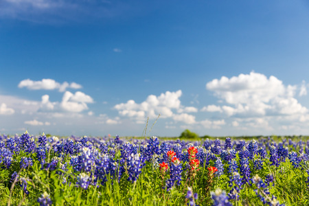 bluebonnet: bluebonnet and indian paintbrush filed and blue sky