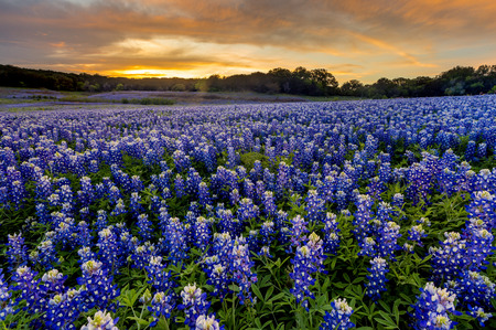 Beautiful Bluebonnets field at sunset near Austin, Texas in spring. 版權商用圖片