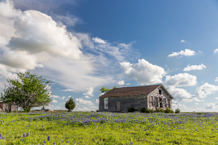 bluebonnet: texas bluebonnet field and abandon barn
