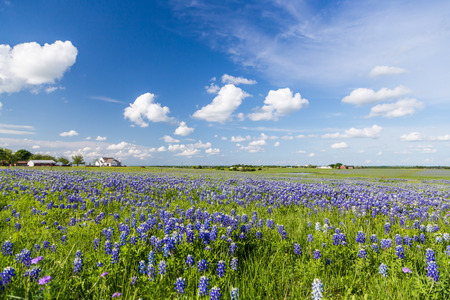 bluebonnet: Bluebonnet field and blue sky in Ennis, Texas.