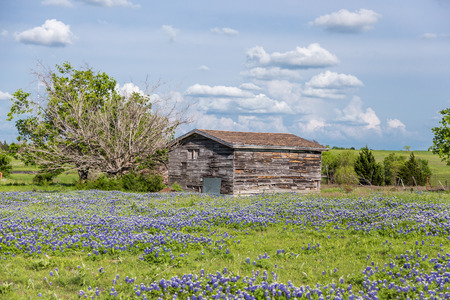 bluebonnet: texas bluebonnet field and old barn in Ennis, Texas