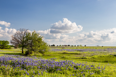 bluebonnet: Texas Bluebonnet filed and blue sky in Ennis.