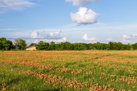 Wildflower - Indian paintbrush field and farmland Stock Photo
