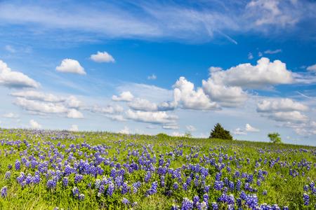 Texas Bluebonnet filed and blue sky