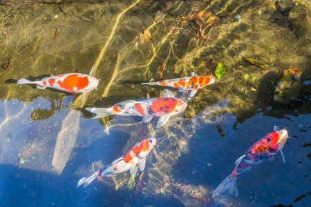 Colorful Koi fancy craps swim in clear water in city ditch.
