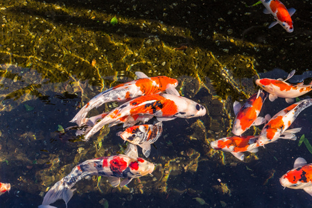 koi: Colorful Koi fancy craps swim in clear water in city ditch.