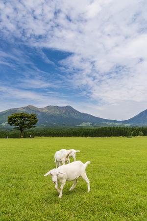 eating area: Goats eat grass in a farm near Aso mountain in Kumamoto, Japan.