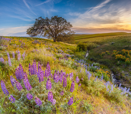 Wild flowers filed and dramatic sunset in Columbia hills state park, Washington with mount Hood in the background. Stock Photo