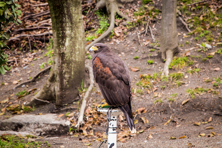 red tail hawk in the park 写真素材