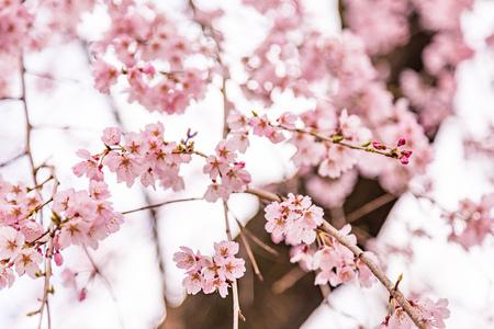 close up pink sakura (Yamazakura) blossom