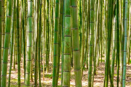 Bambusowy las w Arashiyama, Kioto, Japonia