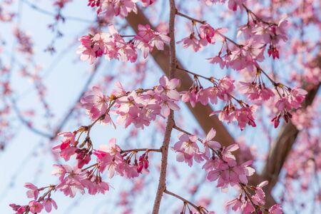 Cherry blossom (Sakura) around philosopher's walk  in spring, kyoto, Japan Archivio Fotografico - 128680323