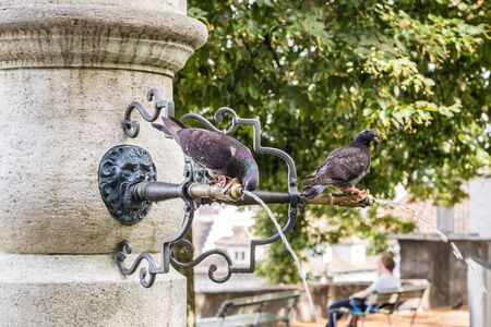 Pigeon drinking water from fountain in public park Banco de Imagens