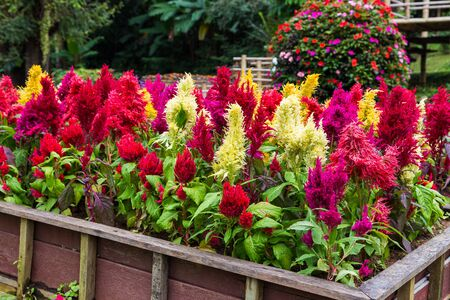 Colorful Cockscomb flowers in flower bed 写真素材
