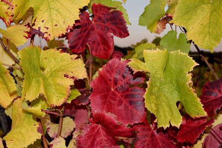 autumn colour: beautiful colour of grapes leaf in autumn Stock Photo