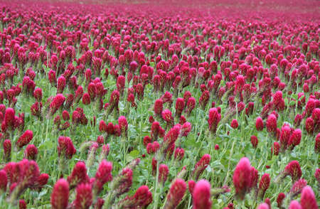 red clover: red crimson clover field Stock Photo