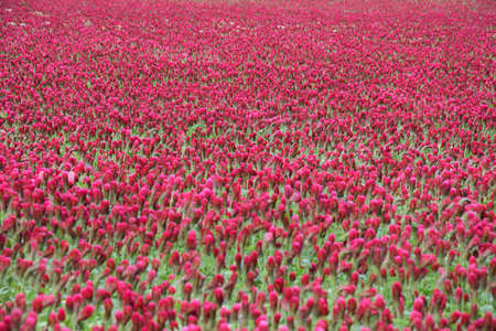 trifolium: very beautiful red crimson clover field