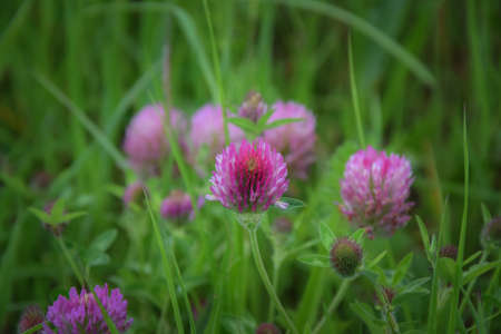 green back: pink clover in green back ground