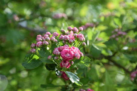 pink hawthorn Stock Photo