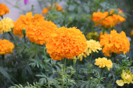 Orange yellow flower- Tagetes Marigold flowers blooming in summer