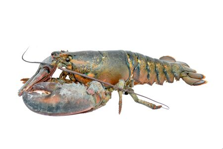lobster- Homarus americanus- American lobster isolated on white background. This has clipping path Imagens