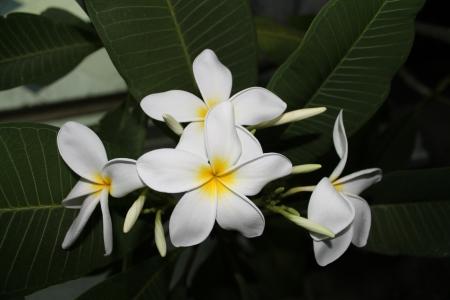 Frangipani flowers. Stock Photo