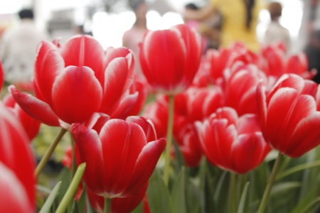 Beautiful Red Tulips on Flower Bed in the Garden