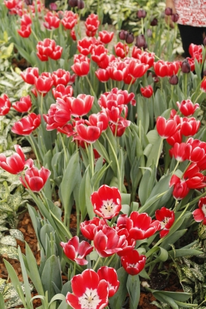 Beautiful Red Tulips on Flower Bed in the Garden Stock Photo - 18269912