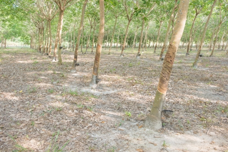 tapper: Rubber tree over view in the northeast of Thailand Stock Photo