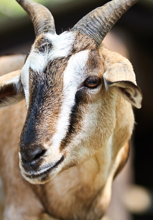 Close-up picture of a goat in farm photo