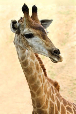 white background giraffe: Closeup picture of a cute giraffe