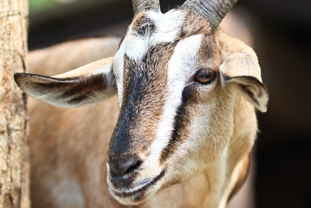 Close-up picture of a goat