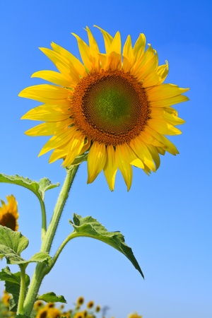 Blooming sunflower with the blue sky background