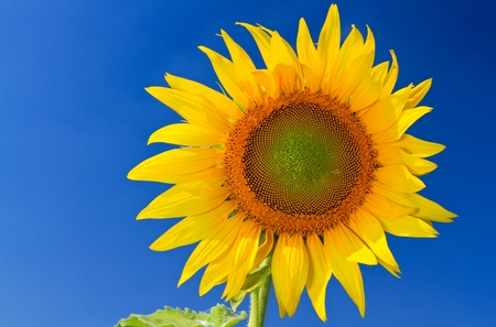 Closeup blooming sunflower with the blue sky background photo