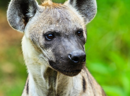 Hyena closeup photo