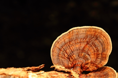 Brown mushroom closeup with black background Stock Photo
