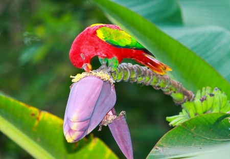 Macaw eating banana blossom photo